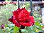 rose05.jpg